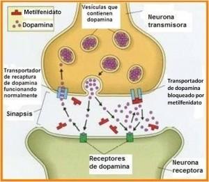 El metilfenidato como inhibidor de la recaptación de la dopamina