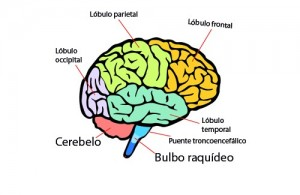 areas del cerebro