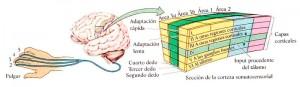 relación mano y cerebro